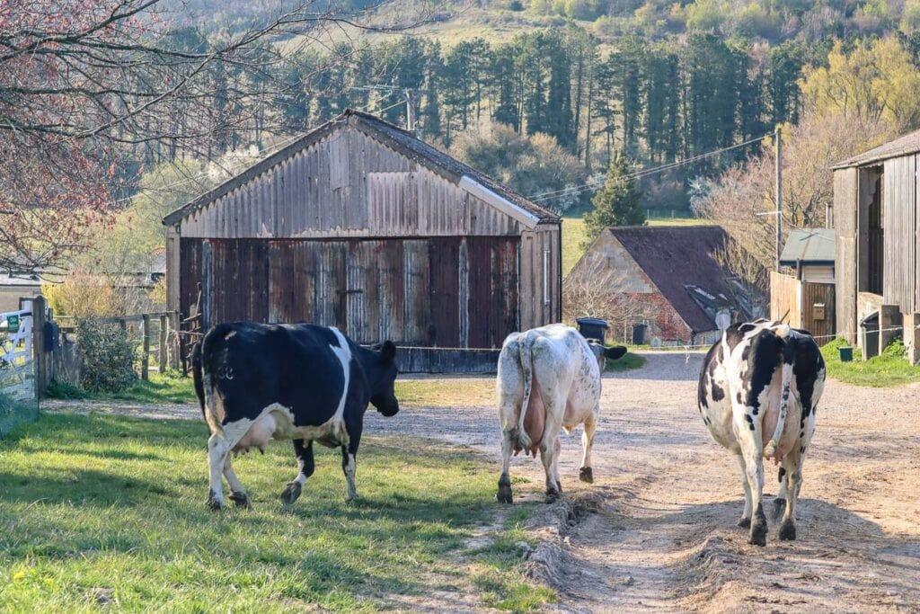 Cows at Chilton Farmyard B&B