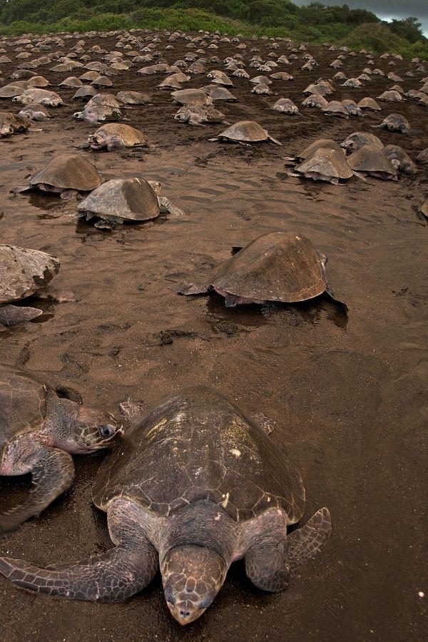 Turtles in Costa Rica