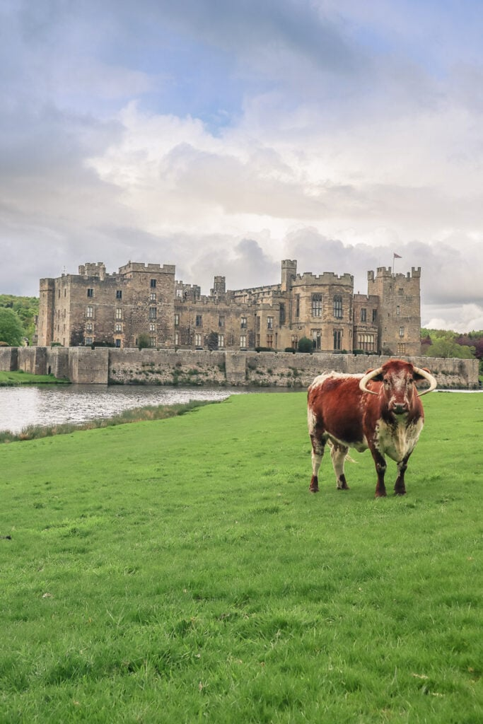 Long horn cow at Raby Castle